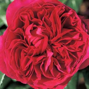 Чайногибридная роза Ален Сушон Alain Souchon продажа